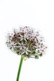 Lampadina porpora dell'allium, su bianco Fotografie Stock Libere da Diritti