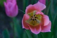 Lampadina rosa del tulipano fotografia stock libera da diritti