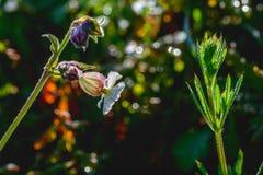 Lampadina vulgaris di Silene Fotografie Stock
