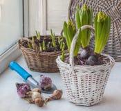 Lampadine dei giacinti e dei narcisi sui precedenti dei fiori Immagini Stock Libere da Diritti