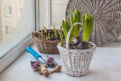 Lampadine dei giacinti e dei narcisi sui precedenti dei fiori Immagine Stock Libera da Diritti