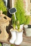 Lampadine del giacinto Immagine Stock Libera da Diritti