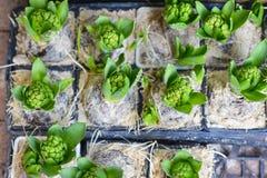 Lampadine del giacinto nei vasi Fotografie Stock