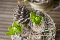 lampadine del giacinto in vaso Fotografia Stock Libera da Diritti