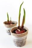 Lampadine del Gladiolus Fotografie Stock Libere da Diritti