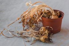 Lampadine del narciso dopo la fioritura Immagine Stock