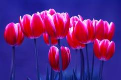Lampadine del tulipano fotografie stock