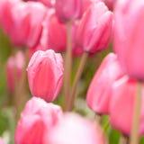 Lampadine del tulipano di Fowering nel campo Fotografie Stock Libere da Diritti
