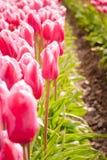 Lampadine del tulipano di Fowering nel campo Immagini Stock