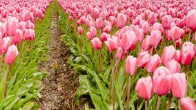Lampadine del tulipano di Fowering nel campo Fotografia Stock