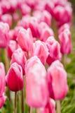 Lampadine del tulipano di Fowering nel campo Immagini Stock Libere da Diritti