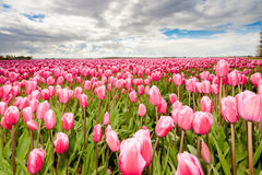 Lampadine del tulipano di Fowering nel campo Immagine Stock