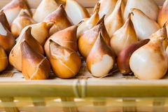 Lampadine del tulipano immagazzinate nelle lampadine pulita e pronta delle scatole, per piantare Fotografia Stock
