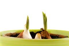 Lampadine del tulipano in POT fotografie stock libere da diritti