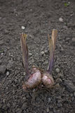 Lampadine dell'aglio (allium sativum) Fotografia Stock Libera da Diritti
