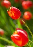 Lampadine della primavera rossa Fotografie Stock