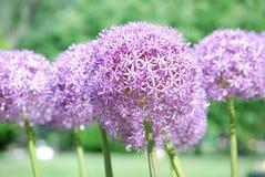Lampadine di fioritura dell'allium in fioritura Immagini Stock