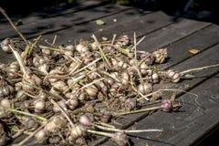 Lampadine fresche dell'aglio Immagine Stock
