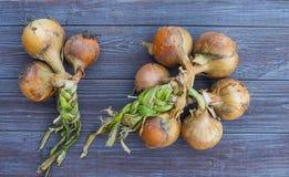 Lampadine fresche della cipolla fotografia stock