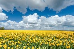 Lampadine gialle del tulipano nel paesaggio olandese Fotografia Stock