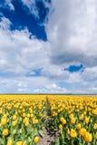 Lampadine gialle del tulipano nel paesaggio olandese Immagine Stock