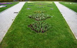 Lampadine porpora, bianche e rosa della molla in anticipo fresca del giacinto, sviluppate nei fowerbeds del giardino del parco de fotografie stock libere da diritti