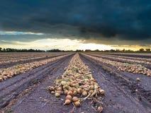Lampadine raccolte della cipolla in un campo Fotografie Stock Libere da Diritti