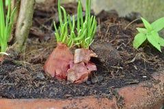 Lampadine rosse crescenti dello scalogno in un vaso a casa, germogliando scalogno verde iniziando nuova vita, idea di concetto Fotografie Stock Libere da Diritti