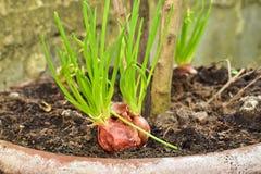 Lampadine rosse crescenti dello scalogno in un vaso a casa, germogliando scalogno verde iniziando nuova vita, idea di concetto Fotografia Stock