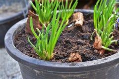Lampadine rosse crescenti dello scalogno in un vaso a casa, germogliando scalogno verde, iniziante nuova vita Idea di concetto Fotografie Stock Libere da Diritti