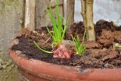 Lampadine rosse crescenti dello scalogno in un vaso a casa germogliando scalogno verde, iniziante nuova vita, idea di concetto Immagine Stock