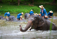 LAMPANG, THAÏLANDE - MARS 26 : Bain quotidien d'éléphants à l'EL thaïlandais Photos stock