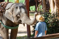LAMPANG, THAILAND - Dec 24, 2018:- The Thai Elephant Conservation Center TECC, Mahouts show how to train an elephant. Train elephants to wear a hat for men royalty free stock images