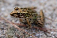 Lampart żaba zdjęcie stock