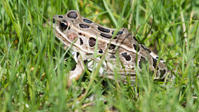 Lampart żaba w trawie Obraz Royalty Free
