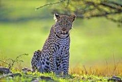 lampart afrykański Zdjęcia Royalty Free
