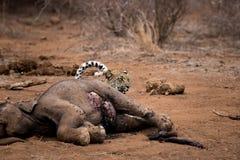 Lampart chuje za słonia ścierwem w Kruger parku narodowym, Południowa Afryka Obrazy Royalty Free