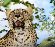 Lampart, drapieżnik, zwierzę, zęby, rozpieczętowany usta, dostrzegający żakiet Fotografia Stock