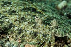 Lampart flądra w Ambon, Maluku, Indonezja podwodna fotografia Zdjęcia Royalty Free