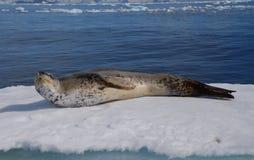 Lampart foka Fotografia Royalty Free