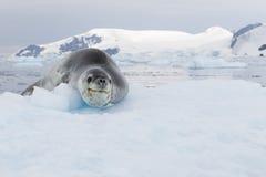 Lampart foka Zdjęcie Stock