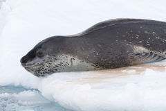 Lampart foka która kłama na lodzie i iść nurkować w wa Fotografia Stock