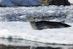 Lampart foka odpoczywa na lodowym floe Fotografia Stock