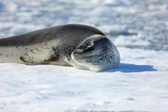 Lampart foka odpoczywa na lodowym floe Zdjęcia Stock