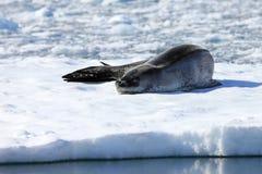 Lampart foka odpoczywa na lodowym floe Obrazy Stock