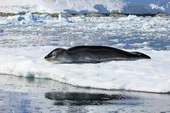 Lampart foka odpoczywa na lodowym floe Zdjęcia Royalty Free