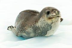 Lampart foka w Antartcia Obrazy Stock