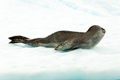 Lampart foka w Antartcia Zdjęcia Royalty Free