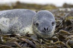 Lampart foki lying on the beach w Kelp (Hydrurga leptonyx) Ochotniczy punkt, Zdjęcia Royalty Free