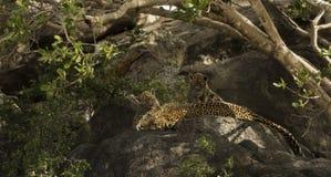 Lampart i jej lisiątka odpoczywa na skałach, Serengeti, Tanzania Zdjęcia Royalty Free